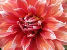 Dahlia Royalty-vrije Stock Afbeeldingen