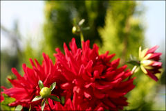 Dahlia. Red dahlia. Flowers in natural conditions Royalty Free Stock Photography