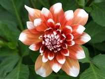 Dahlia. In bloom in Kolomenskoe (Moscow Royalty Free Stock Photo