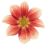 Dahlia. Studio Shot of Red and Yellow Colored Dahlia Isolated on White Background. Large Depth of Field (DOF). Macro. Symbol of Elegance, Dignity and Good Taste Royalty Free Stock Photography