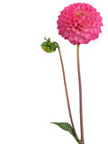 Dahlia. On a white background. Clipping path Stock Photo