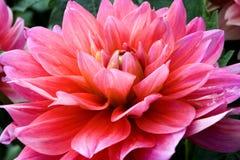 Dahlia. Pink dahlia Royalty Free Stock Photo
