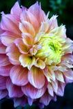 Dahlia. Yellow-orange-pink dahlia Royalty Free Stock Photo
