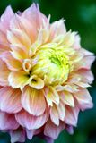 Dahlia royalty free stock photo