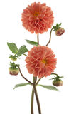 Dahlia Stock Photography