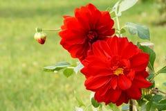 Dahlia. The close-up of dahlia flower and bud Stock Image