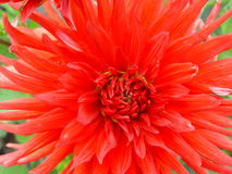 Dahlia. Bright red flowers Royalty Free Stock Photography