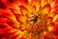 Dahlia. A sunny Dahlia in the sunlight Royalty Free Stock Photos
