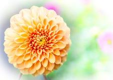 dahlia Royaltyfria Bilder