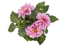 dahlia Images stock