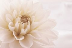 Dahlia Royalty Free Stock Photography