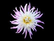 Dahlia. A dahlia stands out against a black background Stock Images