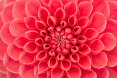 Dahlia Photos stock