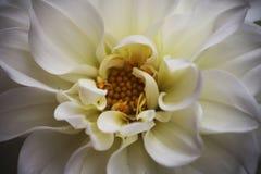 dahlia Royaltyfri Fotografi