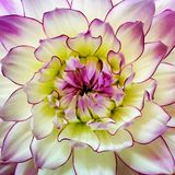 dahlia Photographie stock