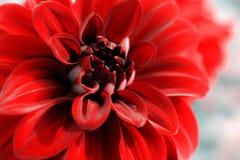 dahlia Imagem de Stock