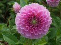 Dahlia. Button like,vibrant pink & fragile Stock Images