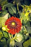 dahlia Imagem de Stock Royalty Free