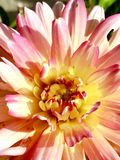 dahlia Foto de Stock Royalty Free
