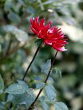 Dahlia assez rouge dans le jardin Photos libres de droits
