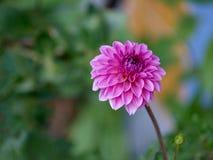 Dahlia assez rouge dans le jardin Image stock