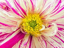 Dahlia, Asteraceae, Dahlia, Asteraceae, closeup in the flower center with her seed wreath. Close-up in the flower center of a wet-flowered dahlia blossom stock photos