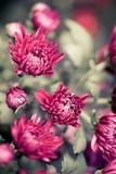 Dahlia Autumn flower design.With copy-space Royalty Free Stock Photos