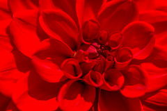 Dahlia Autumn flower, macro. Royalty Free Stock Photo