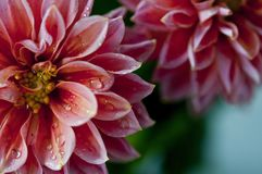 Dahlia Autumn Flowers. Closeup of pink dahlia flower with water drops Stock Image