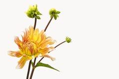 Dahlia av guling-röd färg med knoppar på vit bakgrund 1 Fotografering för Bildbyråer