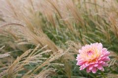 Dahlia avec l'herbe grande Images libres de droits