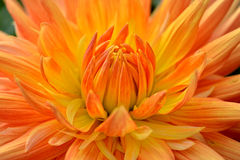 Dahlia avec les pétales jaune-orange. Fin vers le haut. Photo stock