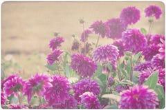 Dahlia background Stock Image