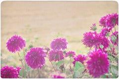 Dahlia background Stock Photography