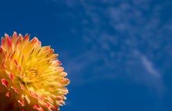 Dahlia on a background of the sky. Dahlia on a background of the blue sky Stock Photography