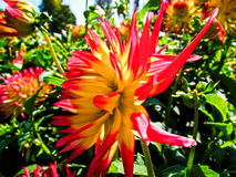 Dahlia. Beautiful and colorful dahlia flowers stock image
