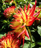 Dahlia. Beautiful and colorful dahlia flowers royalty free stock photography