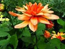 Dahlia. Beautiful and colorful dahlia flowers royalty free stock photo