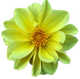 Dahlia, beautiful flower closeup Royalty Free Stock Photography