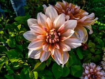 Free Dahlia Beautiful Flower Nature Photography Stock Photography - 220414572