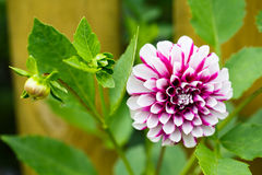 Dahlia. Beautiful Northern Lights dahlia in the garden royalty free stock photography