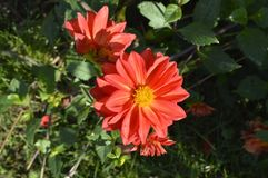 Dahlia. Beautiful ornamental plant with large red flower Royalty Free Stock Image