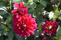 Dahlia. Beautiful ornamental plant with large red lowers Stock Images