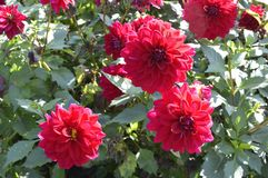 Dahlia. Beautiful ornamental plant with large red lowers Stock Photo
