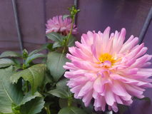 Dahlia. A beautiful pink Dahlia Stock Photos