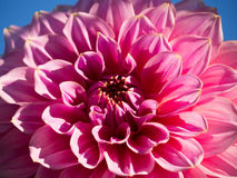 Dahlia. Beautiful dahlia with pink colors on a blue background Royalty Free Stock Photo