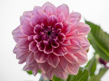 Dahlia. Beautiful pink dahlia on light background Royalty Free Stock Photography