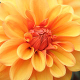 Dahlia. 