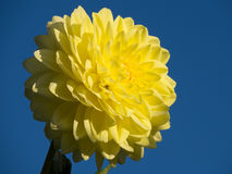 Dahlia. Beautiful dahlia with yellow colors on a blue background Royalty Free Stock Photo