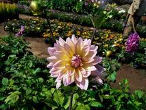Free Dahlia Beauty Flower Nature Flower Of Nursery Stock Photo - 220411990